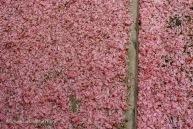 Spring Petal Fall